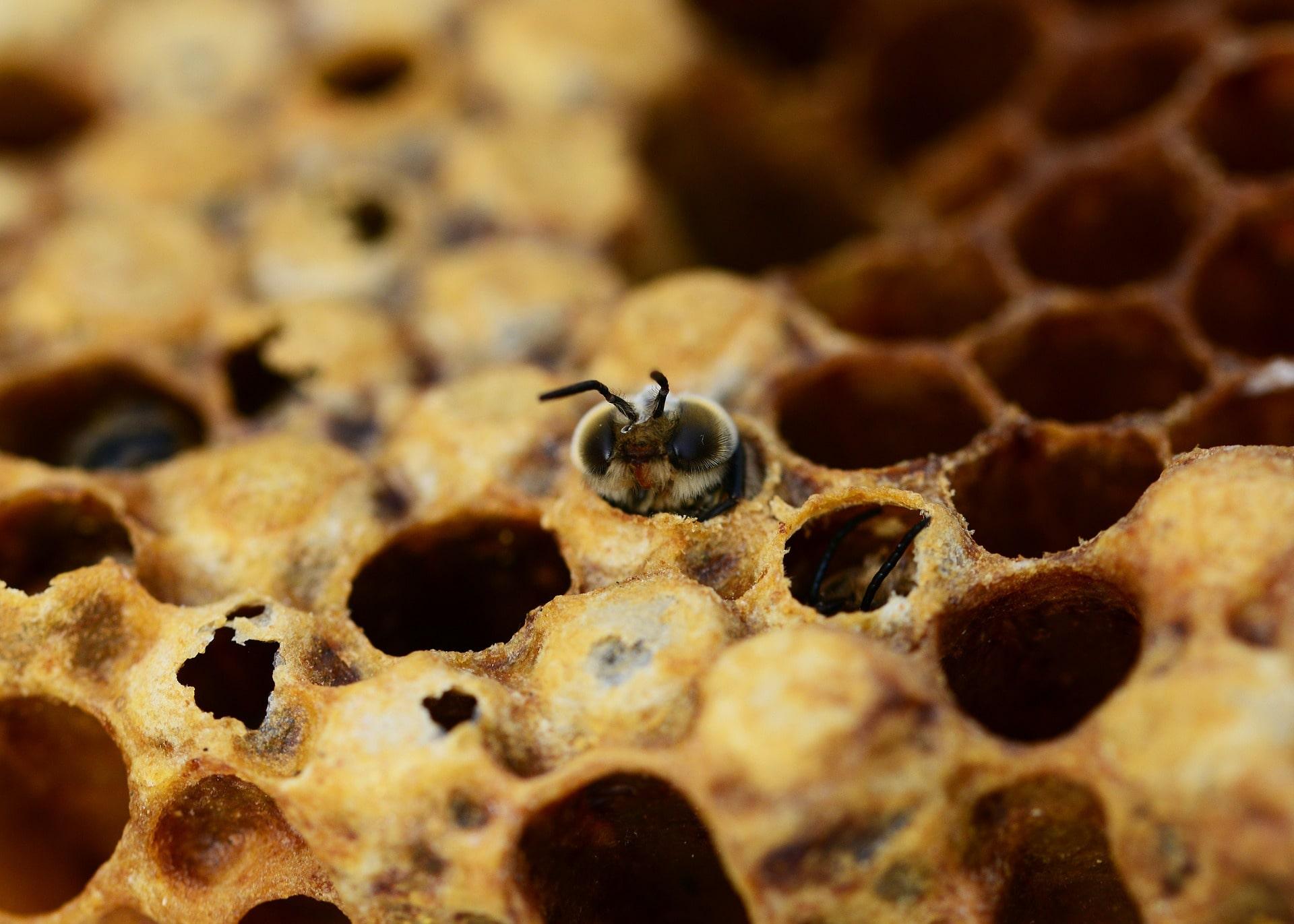 Honey Farm Bee in Honeycomb